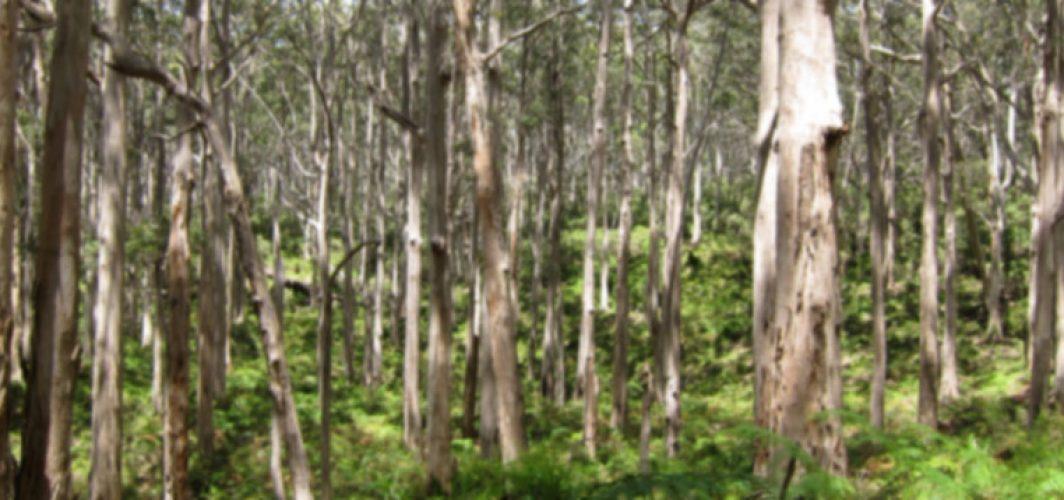 Karri Forest1